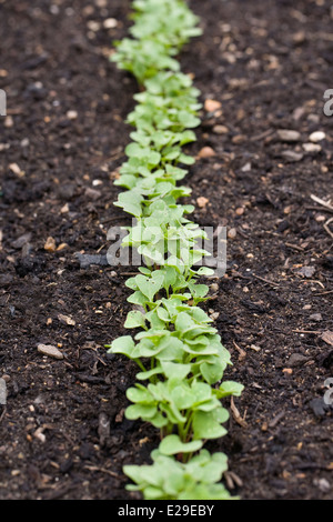 Raphanus sativus. Row of radish seedlings. - Stock Photo