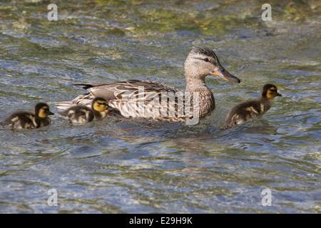 Mallard duckling riding mother's bow wave (Anas platyrhynchos) - Stock Photo