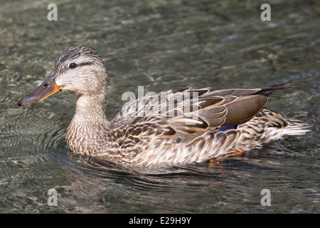 Mallard duck (Anas platyrhynchos) swimming in stream - Stock Photo