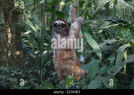 Young Brown-throated Three-toed Sloth (Bradypus variegatus) climbing tree in tropical rainforest