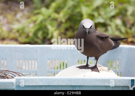 Brown Noddy, Common Noddy (Anous stolidus pileatus) perched on plastic marine debris which has been collected for - Stock Photo