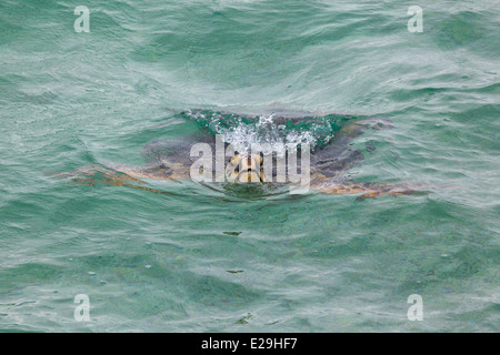 Hawaiian Green Sea Turtle (Chelonia mydas) surfacing to breathe in Papahanaumokuakea Marine National Monument - Stock Photo