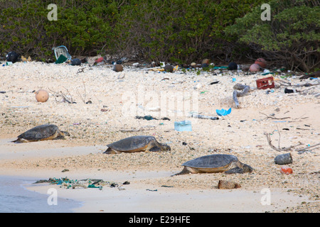 Hawaiian Green Turtles (Chelonia mydas) basking on beach littered with rope and plastic marine debris on Midway - Stock Photo