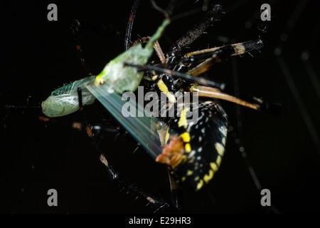 Writing Spider wrapping prey, Macro photo - Stock Photo