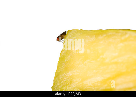 Cut Out. Common Fruit Fly (Drosophila melanogaster) on a yellow pineapple chunk on white background - Stock Photo