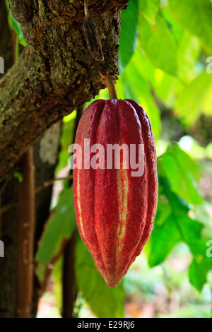Seed pod of the Cocoa tree, growing in a cultivation area of Grenada, West Indies Stock Photo
