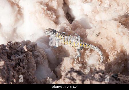 Chile, Antofagasta region, San Pedro de Atacama, Atacama salar, lizard in the Chaxca laguna - Stock Photo