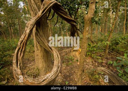 Nepal, Terai area, Bheri Zone, Bardia National Park, liana - Stock Photo