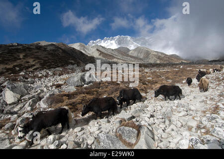 Nepal, Sagarmatha Zone, Khumbu Region, trek of the Everest Base Camp, yaks and dzos caravan - Stock Photo