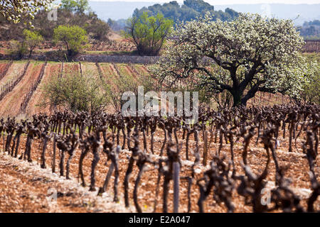 France, Var, Pourrieres vineyard in Spring, at the foot of Montagne Sainte Victoire - Stock Photo