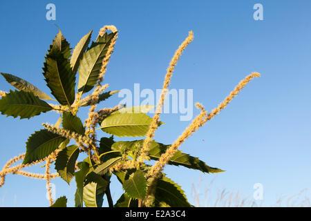 France, Ille et Vilaine, Rennes, Chestnut (Castanea sativa), flowers male and female, order ; Fagales, family ; - Stock Photo