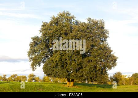 France, Bas Rhin, Obernai, Pedunculate Oak, English Oak (Quercus robur), - Stock Photo