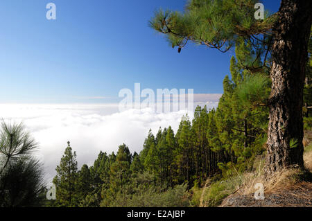 Spain, Canary Islands, Tenerife, mountains road TF 24, Ortuno Mirador, Pine forest above the clouds - Stock Photo