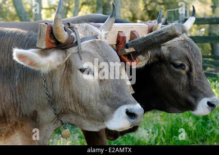 Italy, Sardinia, Olbia Tempio Province, Aggius couple of oxen hitched to a yoke - Stock Photo