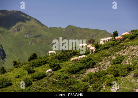 France, Hautes Pyrenees, Bagneres de Bigorre, cows in the valley of Campan on the GR10 - Stock Photo