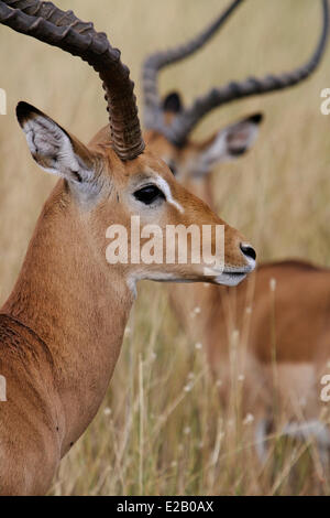 Kenya, Lake Nakuru national park, Impala (Aepyceros melampus), males - Stock Photo