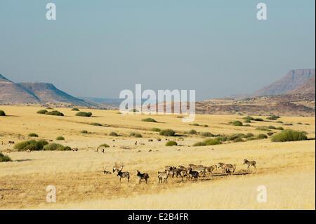 Namibia, Damaraland, Palmwag Concession, Gemsbok (Oryx gazella) and Springbok (Antidorcas marsupialis), Hartmann's - Stock Photo