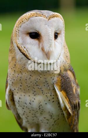 african barn owl. captive - Stock Photo