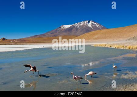 Bolivia, Potosi Department, Sur Lipez Province, Eduardo Avaroa Andean Fauna National Reserve, Laguna Hedionda whose - Stock Photo