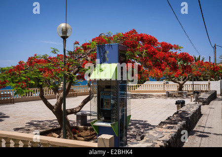 Red flowering flamboyant tree and telefonica public phone box in a plaza in Tenerife, Canary Islands, Spain. - Stock Photo