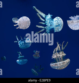 Swarm of Spotted Jellies floating and swimming against a blue background in Ripleys Aquarium Toronto - Stock Photo