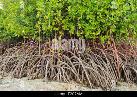 Indonesia, Bali, Nusa Lembongan Island, the mangrove in the North of the island - Stock Photo