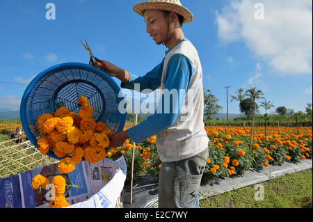 Indonesia, Bali, cultivation of French marigold in the centre of the island - Stock Photo