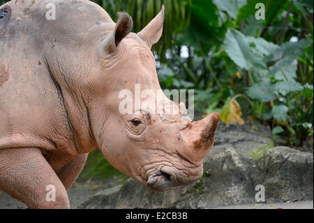 Singapore, Singapore Zoo, white rhinoceros (Ceratotherium simum) - Stock Photo