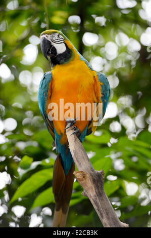 Singapore, Singapore Zoo, Blue and Yellow Macaw (Ara ararauna), also known as the Blue and Gold Macaw - Stock Photo