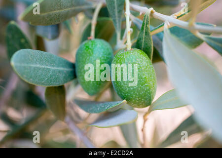 Morocco, High Atlas, Marrakesh, Imperial City, Olives - Stock Photo