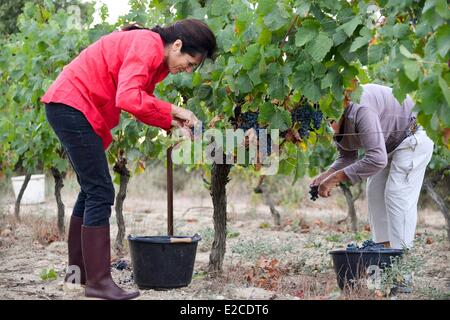 France, Herault, Boujan sur Libron, organic vineyards of the Domain of Ancienne Cordonnerie, grape harvests manual - Stock Photo