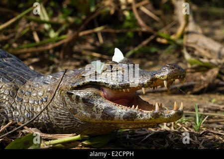 Brazil Mato Grosso Pantanal area listed as World Heritage by UNESCO Yacare (Caiman yacare) and butterflies - Stock Photo
