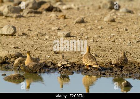 Kenya lake Magadi yellow-throated sandgrouse (Pterocles gutturalis) drinking - Stock Photo