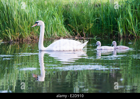 Adult Swan with two Cygnets on the Leeds Liverpool canal, Rodley, Leeds West Yorkshire, UK, - Stock Photo