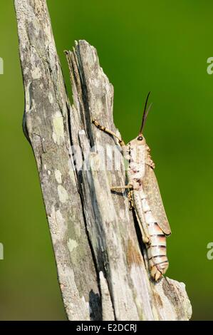 Swaziland Lubombo district Hlane Royal National Park cricket - Stock Photo
