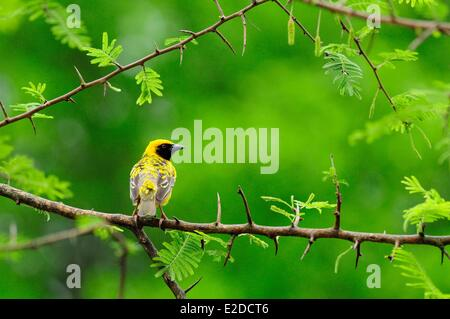 Swaziland Lubombo district Hlane Royal National Park weaver bird - Stock Photo
