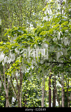 DAVIDIA INVOLUCRATA. DOVE TREE. HANDKERCHIEF TREE. GHOST TREE. UK. - Stock Photo