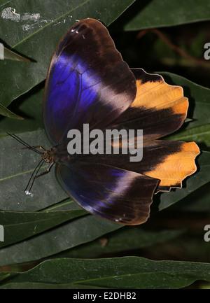 Yellow-edged Giant Owl butterfly (Caligo atreus) wings opened - Stock Photo
