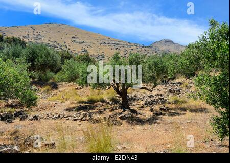 Greece Crete Agios Nikolaos region Elounda olive trees on the hill - Stock Photo