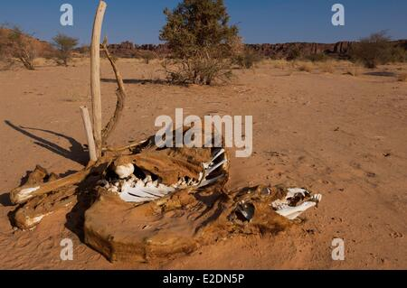 Chad Southern Sahara desert Ennedi massif camel dead of thirst in Sicandre - Stock Photo