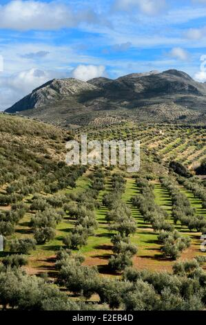 Spain, Andalusia, Jaen province, olive groves south of Martos and the Sierra Magina in the background - Stock Photo