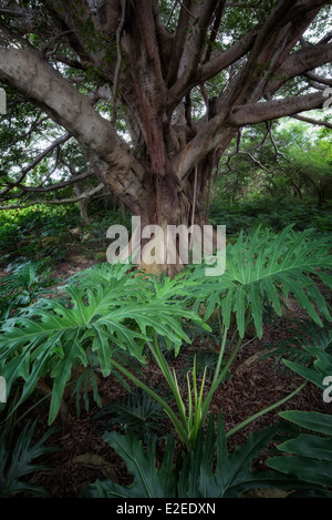 White Fig tree (Higuera blanca, with split leaf philodendron. Punta Mita, Mexico. - Stock Photo