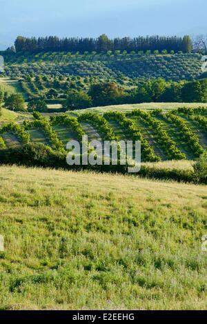 France Haute Corse (2B) east coast Costa Serena near Ghisonaccia landscape of Urbino to the pond fruit trees olive - Stock Photo