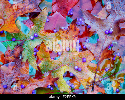 Beautyberry berries (Callicarpa) and fall colred maple leaves. Wilsonville, Oregon - Stock Photo