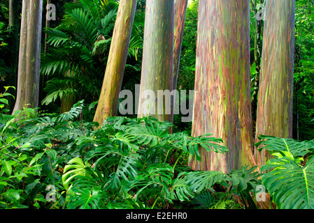 Rainbow Eucalyptus (Eucalyptus deglupta).and split leaf philodendron. Keanae Arboretum. Maui, Hawaii - Stock Photo