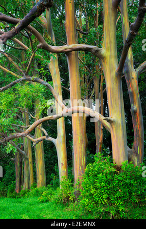 Rainbow Eucalyptus (Eucalyptus deglupta). Maui, Hawaii - Stock Photo