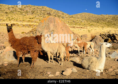 Peru, Arequipa province, Tuti, herd of llamas on a farm on the slopes of the volcano Mismi (5597m) - Stock Photo