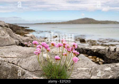 Pink scottish wildflowers pink flowers growing by the roadside on thrift sea pink flowers growing amongst rocks on beach with view to eriskay kilbride mightylinksfo