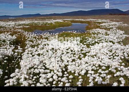 Russia, Chukotka autonomous district, Wrangel island, Doubtful village, Arctic Cottongrass (Eriophorum scheuchzeri) - Stock Photo