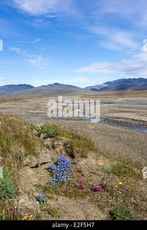 Russia Chukotka autonomous district Wrangel island Doubtful village Doubtful river and tundra with Kamtchatka eritrichium - Stock Photo